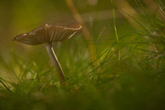 trawy pieczarka Zdjęcie Stock