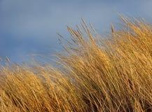 trawy plażowy marram Zdjęcia Stock
