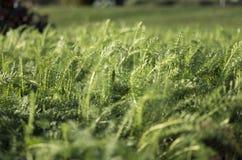 Trawy pola świrzepy Obraz Royalty Free
