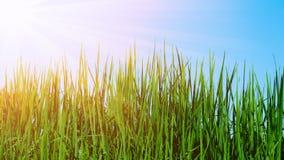 Trawy pole z światłem słonecznym Fotografia Royalty Free