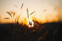 Trawy przeciw światłu słonecznemu nad nieba tłem w zmierzchu Ziele sylwetki obrazy stock
