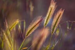 Trawy spikelet na polu przy zmierzchem Zdjęcia Royalty Free