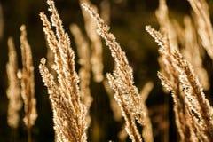 Trawy spikelet na polu przy zmierzchem Obrazy Royalty Free
