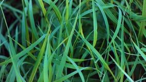 trawy tła świeżej green Zielonej trawy zakończenie up z rosa kroplami mokry trawa deszcz zakończenie liście zdjęcie royalty free
