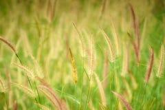 Trawy tło w świetle słonecznym Fotografia Stock