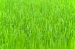 Trawy tło z kroplą rosa Obrazy Royalty Free