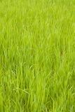 trawy tekstura Zdjęcie Stock