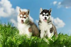 trawy łuskowaty szczeniaka siberian dwa Fotografia Royalty Free
