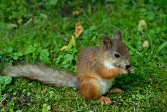 trawy wiewiórka fotografia royalty free