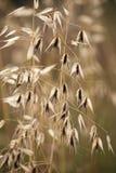 Trawy ziarna głowa na długim trzonie kwitnie z ciemnego brązu centre. obrazy royalty free