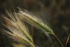 trawy ziarno Fotografia Royalty Free