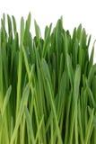 trawy zieleń kiełkował Zdjęcie Stock