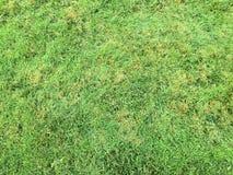 Trawy zieleń pojedynczy białe tło trawy Naturalna zielonej trawy tekstura, Naturalny zielonej trawy tło dla projekta z kopii prze Obraz Royalty Free