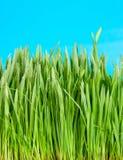 trawy zieleń Fotografia Stock
