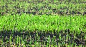 trawy zieleni łąka Obraz Royalty Free