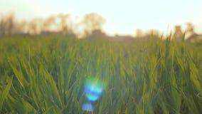 trawy zieleni macro zbiory wideo