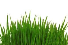 trawy zieleni odosobniony biel Obraz Royalty Free