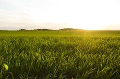 trawy zieleni zmierzch Fotografia Royalty Free