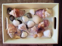 A tray of seashell memories. A tray of assorted seashells collected to keep sunny  vacation memories royalty free stock photos