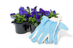 Tray with blue purple pansy Stock Photos