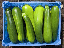 Tray of courgettes Royalty Free Stock Image