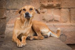 Tray dog lying on a wall near a temple Stock Image