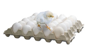 Tray with eggs and chick Stock Image