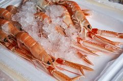 Tray of fresh Scottish langustines Nephrops norvegicus. Otherwise known as scampi, with ice, on a local sea food market Royalty Free Stock Photography
