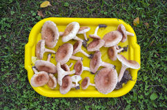 Tray full of mushrooms ( Lactarius torminosus) on grass Royalty Free Stock Image