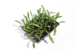 Tray of growing Gazania seedlings Royalty Free Stock Image