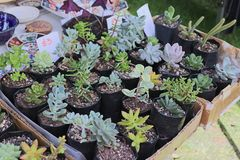 Home grown succulents for sale stock photography