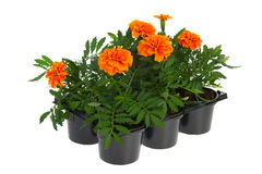 Tray orange Marigolds Stock Image