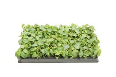 Tray of plant seedlings Royalty Free Stock Photo