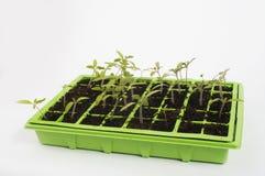 Tray of plants. Green tray of tomato plants Stock Photography