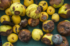 Tray of Rotten Apples Stock Images