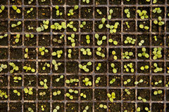 Tray Of Seedlings Royalty Free Stock Image