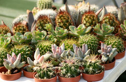 Tray of small potted cacti Stock Photos