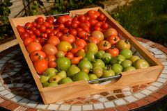 Tomatoes ripening in tray outdoors Stock Photos