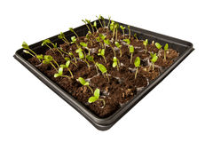 Tray of Young Seedlings Growing Toward the Light Stock Photography