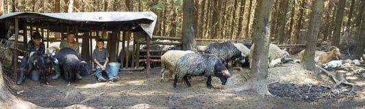 Trayant des moutons la vieille manière Image libre de droits