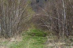 Trayectoria con los árboles de abedul Fotografía de archivo libre de regalías