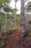 Trayectoria con los árboles de pino Fotos de archivo