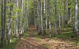 Trayectoria de bosque de la haya Imagen de archivo