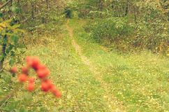Trayectoria de bosque del otoño con un manojo de bayas rojas en el primero plano Fotografía de archivo