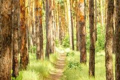 Trayectoria de bosque del pino en el bosque del pino Foto de archivo