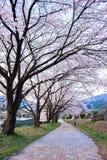 Trayectoria de la flor de cerezo Foto de archivo libre de regalías