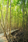 Trayectoria de madera del paseo marítimo en bosque del mangle Fotos de archivo libres de regalías