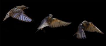 Trayectoria de vuelo joven del estornino Imagen de archivo
