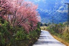 Trayectoria del flor de cereza Fotografía de archivo