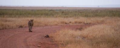 Trayectoria del guepardo Fotografía de archivo